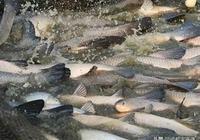 青魚是怎麼養殖的?