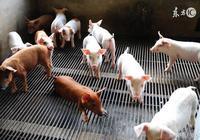 治療仔豬黃白痢難治 可以從母豬下手