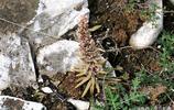曾經瓦房上常見的多肉植物瓦松,在陝西富平這個石山上竟然這麼多
