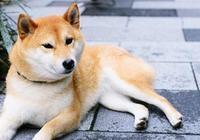 想養柴犬,柴犬有什麼缺點呢?