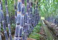 紫皮甘蔗是熱性還是涼性 紫皮甘蔗和青皮甘蔗的區別