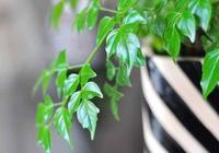 花世界養花 想讓幸福樹長得好?幸福沒有捷徑,只有用心經營