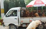 走進農村的狗市,什麼樣的狗都有