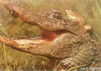 這是古老的世界上瀕臨滅絕的爬行動物