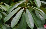 四川木蓮,原產四川,中國特有植物