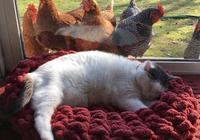 貓咪窗邊打盹,遭遇一群雞圍觀,主人懷疑這窩貓是雞窩裡撿來的