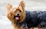 動物圖集:長毛的約克夏梗犬