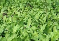 溫室種植茼蒿,選種需仔細,田間管理需精細,病蟲害防治是保障