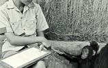 老照片:岡貝的黑猩猩與研究員