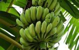 香蕉-名副其實的水果之王