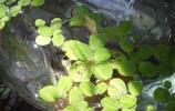 植物圖集:浮萍