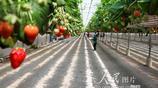 浙江台州:高架草莓賣高價