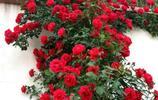 這些爬藤植物可以盆栽地栽,南北都適合種植,既能觀賞又陶冶情操