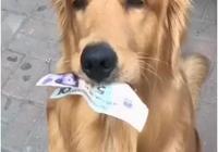 主人讓金毛購物,路上錢丟了也不知,到了商店狗狗的反應萌到眾人