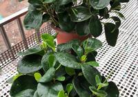 冬天養豆瓣綠,做好3事,安全越冬不黃葉,葉子厚又綠,猛冒芽