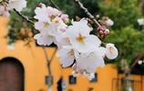 南京櫻花盛開了,雞鳴寺和南林大賞櫻花必去,可是人也很多