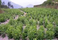 南蒼朮規範化種植技術要求