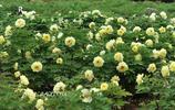 一場春雨之後,菏澤牡丹和芍藥姊妹攜手賀春