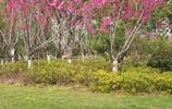 十里桃花,東湖門戶,武漢最美的春天在這裡!