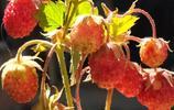 深山裡的美味---大興安嶺野草莓,你吃過嗎?