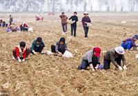 解讀:農村土地撂荒,會被收回,收回後還能索要回來嗎?