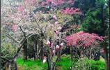 每年三月中旬至四月是櫻花季滿山偏野的櫻花同時綻放美不勝收