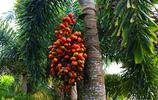 攝影圖集:我國的椰子之鄉椰子大觀園