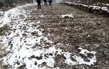 湖北鄖西大雪后土壤進入封凍狀態,產新期南蒼朮採挖難度增大!