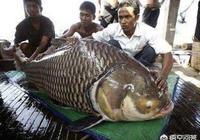 有人說美國鯉魚之災實質上是一個局,對此你怎麼看?