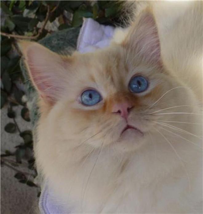 美國snugglerags布偶貓舍