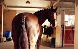 世界名馬鑑賞 之 漢諾威馬