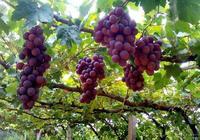 想要明年葡萄豐收,看看老果農是怎麼做的,乾貨技巧值得收藏