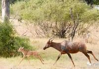 母牛羚有心要救小牛羚,卻無力從野狗群救下