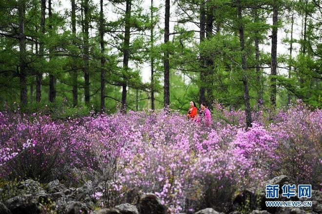 伊春紅星火山地質公園的興安杜鵑開放,吸引眾多遊客前來遊玩觀賞