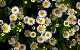 圖集 滿天星 一種美得猶如精靈的花