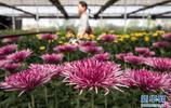 全國最大菊花基因庫對公眾開放