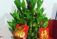 花開富貴 . 竹報平安——富貴竹