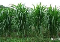 皇竹草的種植方法