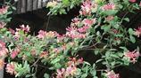 8種花期超長的爬藤植物,一年四季開花不斷,陽臺瞬間變成小花園
