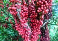 若家中有空餘之地:定要種栽這6種果樹,好吃易成活,想吃隨時摘