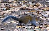 松鼠:達氏松鼠,又名德氏松鼠,部分在樹上活動,偶爾到地面覓食