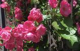 薔薇花香,沁人心脾,心有猛虎,細嗅薔薇