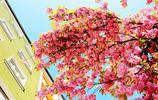 """德國櫻花:起初栽種意為""""和平"""",如今裝點城市,美如仙境"""