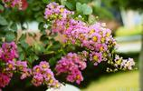 """一種怕""""癢""""的樹""""紫薇"""",花色鮮豔美麗,壽命長,可作盆景"""