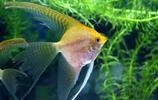 動物圖集:神仙魚