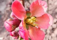 如何分辨貼梗海棠、鐵桿海棠與西府海棠?