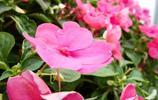 鳳仙花清晰美圖