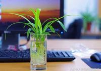 吊蘭的養殖方法 水培吊蘭的注意事項