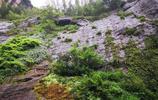 歷經340年風雨的大紅袍古茶樹到底長啥樣?聞香品茗令人大跌眼鏡