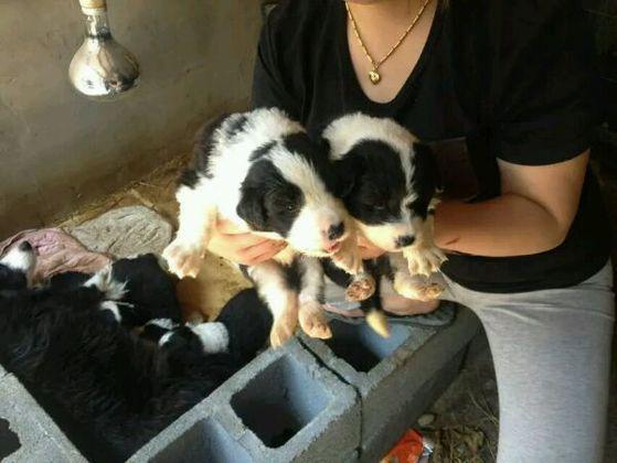 有些狗場裡:狗不是狗,狗只是生殖機器!